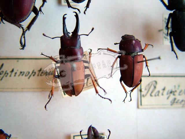 Leptinopterus tibialis