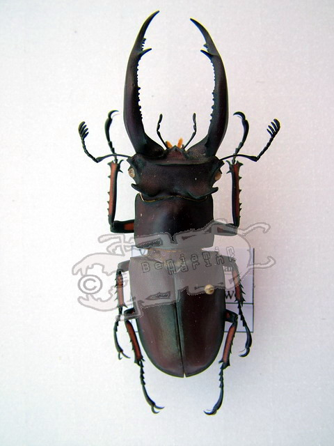 Lucanus angusticornis angusticornis