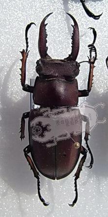 Lucanus angusticornis ssp. Tibet