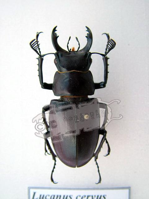 Lucanus cervus laticornis