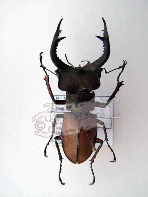 Lucanus cyclommatoides