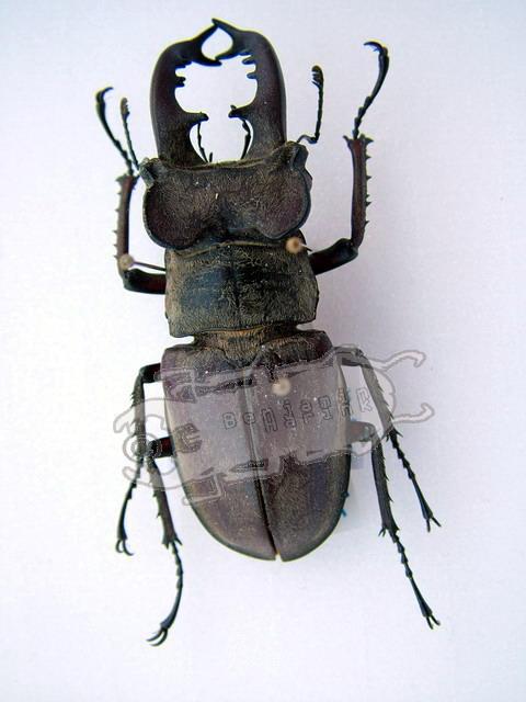Lucanus maculifemoratus boileaui