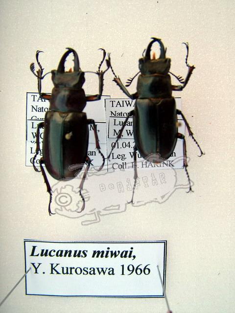 Lucanus miwai