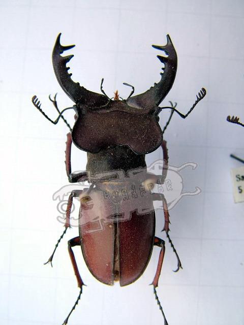 Lucanus pulchellus