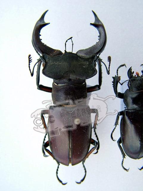 Lucanus szetschuanicus szetschuanicus