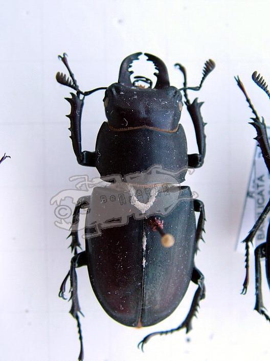 Lucanus tetraodon tetraodon