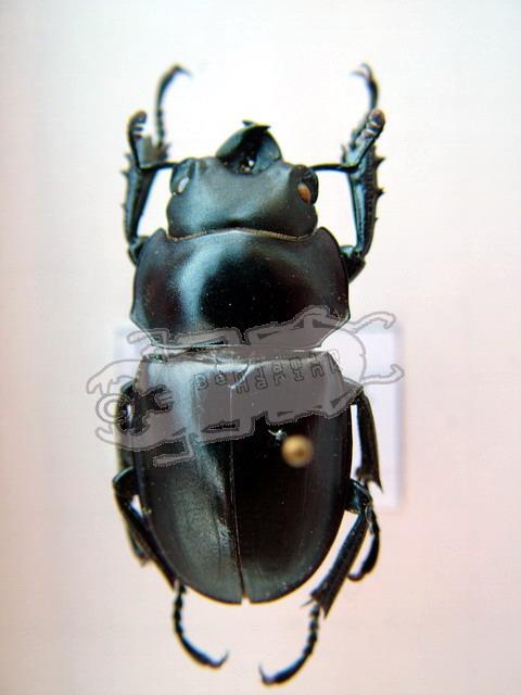 Neolucanus brevis