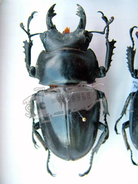 Neolucanus maximus maximus