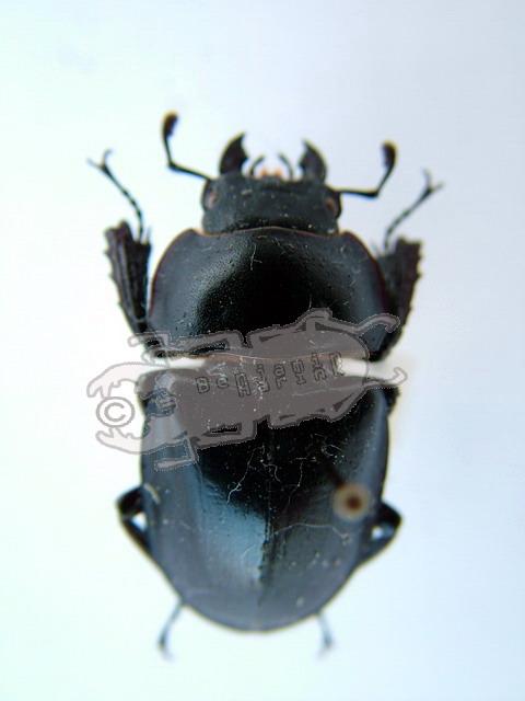 Neolucanus sinicus opacus