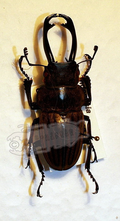 Odontolabis striata cephalotes