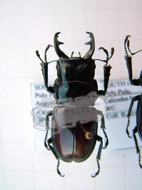 Odontolabis baderi