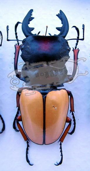 Odontolabis femoralis waterstradti