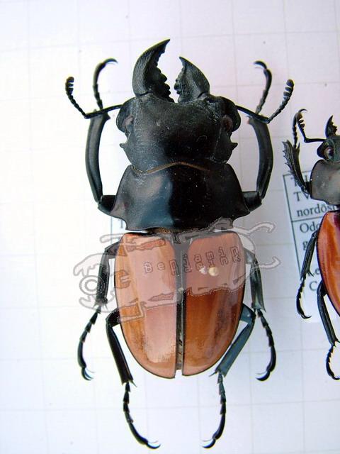 Odontolabis gazella gazella