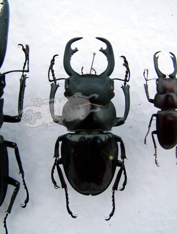 Odontolabis hitam