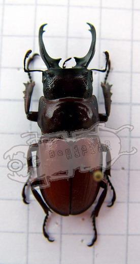 Odontolabis lecourti