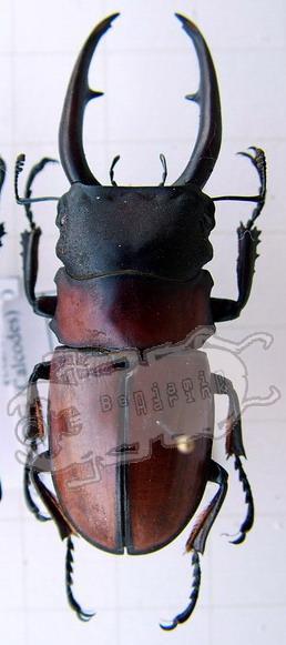 Odontolabis nyashimai