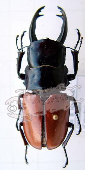 Odontolabis sarasinorum