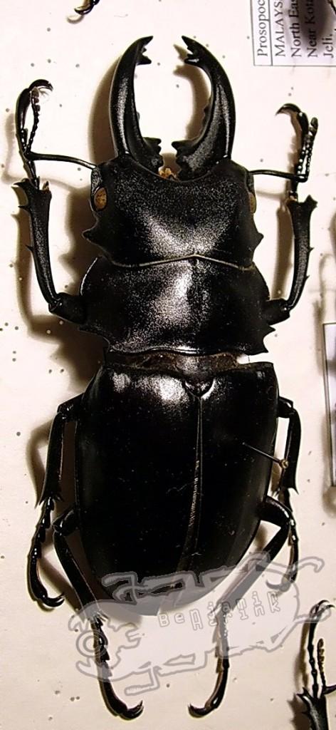 Odontolabis spec. Philippines