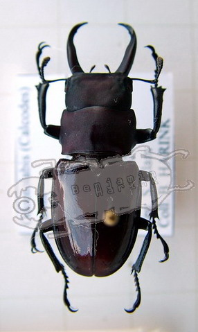 Odontolabis taroni
