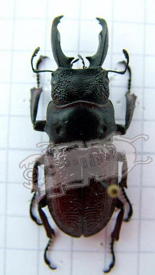 Odontolabis ursulae