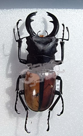 Odontolabis versicolor