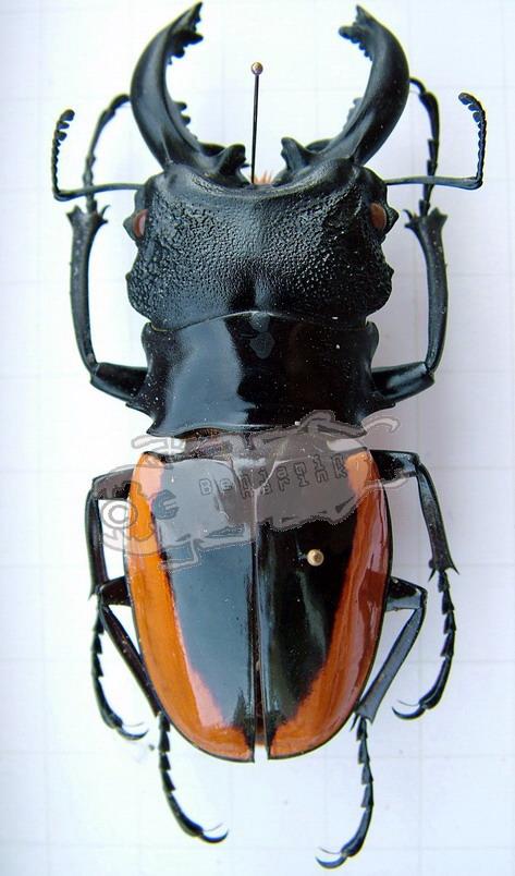 Odontolabis wollastoni