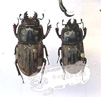 Paralissotes reticulatus