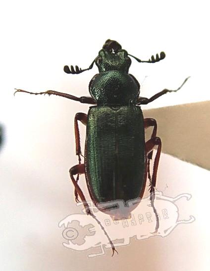 Platycerus acuticollis ssp. #2