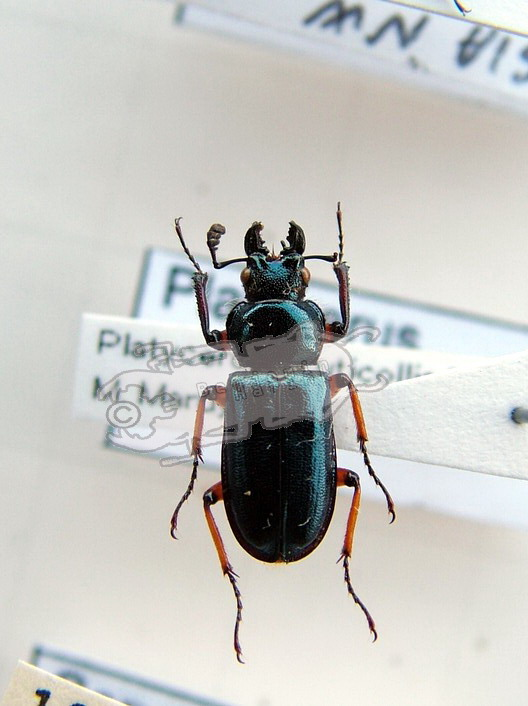 Platycerus acuticollis ssp. #1