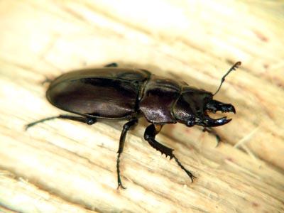 Prismognathus piluensis