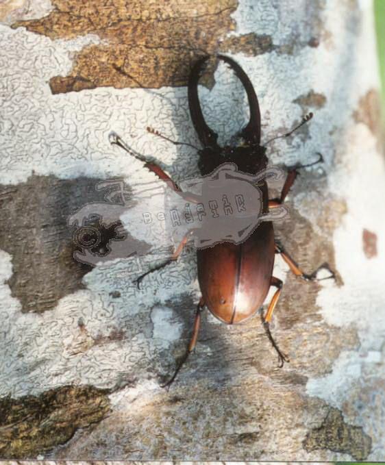 Prosopocoilus astacoides elaphus
