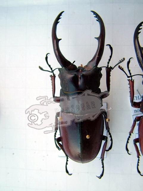 Prosopocoilus astacoides astacoides