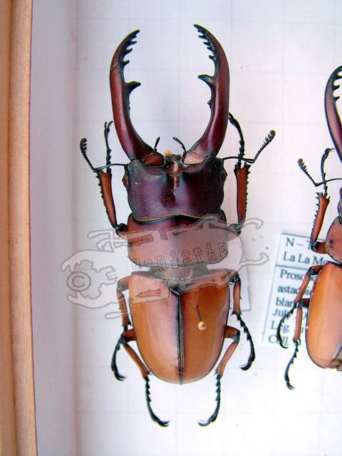 Prosopocoilus astacoides blanchardi
