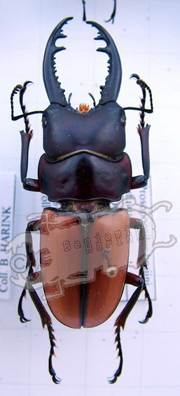 Prosopocoilus brujini rufulus