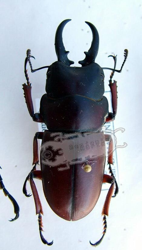 Prosopocoilus romeoi