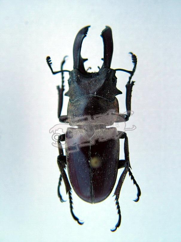Prosopocoilus sericeus taronii