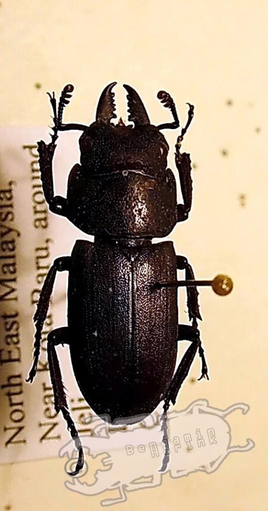 Prosopocoilus spec. #2 Malaysia