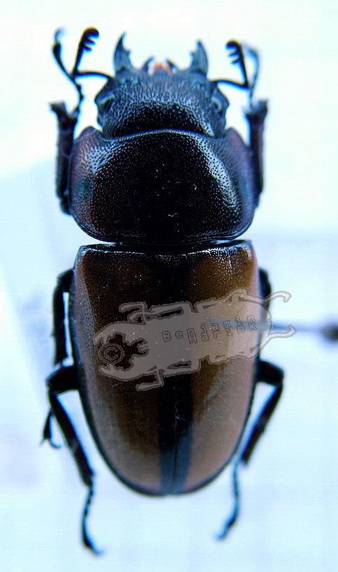 Prosopocoilus spec. #1 Philippines
