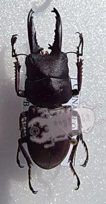 Prosopocoilus spec. #3 Tibet