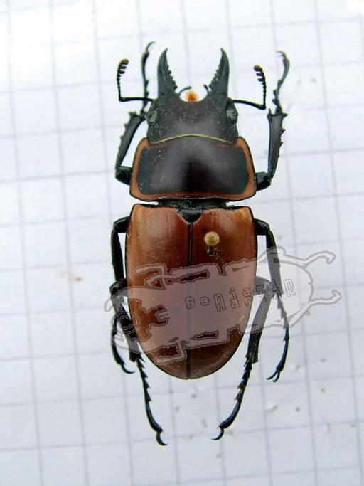 Prosopocoilus tragulus ssp.