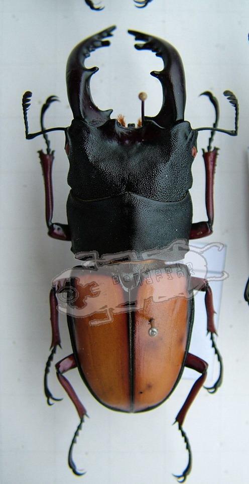 Prosopocoilus umhangi