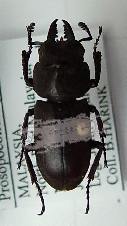 Prosopocoilus spec. #4 Malaysia