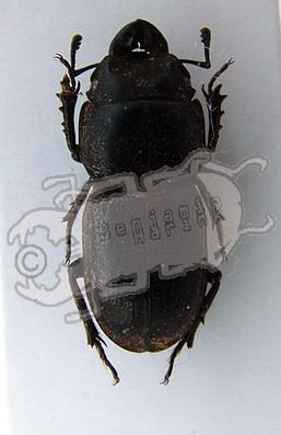 Pycnosiphorus brevicollis