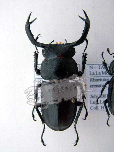 Rhaetulus crenatus crenatus