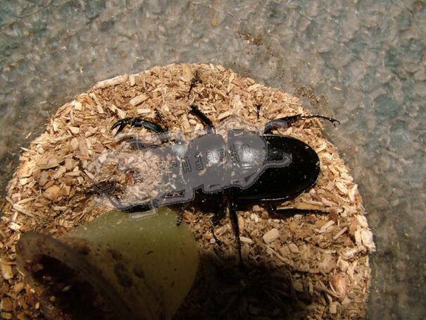 Rhaetulus crenatus rubrofemoratus