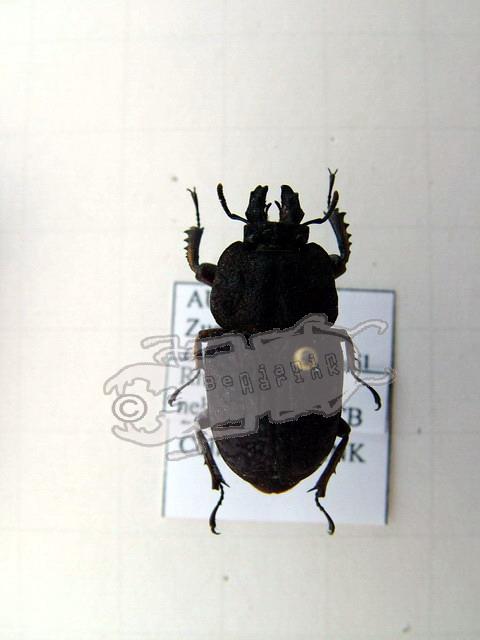 Rhyssonotus nebulosus