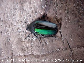 Chlorocala affinis