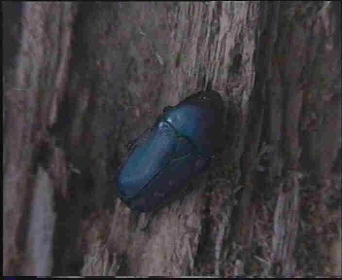 Chlorocala africana oertzeni