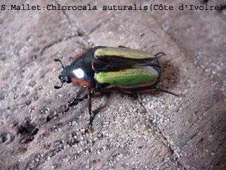 Chlorocala suturalis