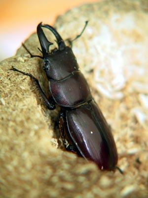 Dorcus titanus daitoensis